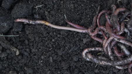 červ : Heap of earthworms moving on the soil. Fertilize the soil, good for crops. Agriculture and fishing.