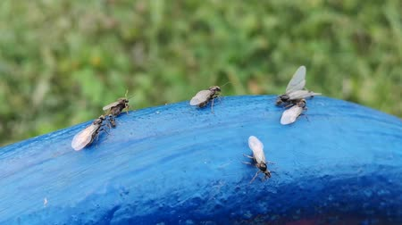 okřídlený : Winged ants swarming across blue surface in garden. Mating period of ants.