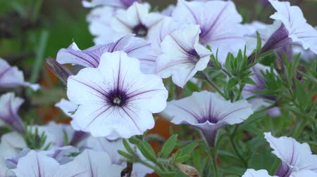 Боливия : White and purple striped petunia flowers in the wind. Garden flowers beautiful close-up, zoom-in. Стоковые видеозаписи