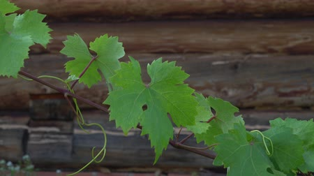 wijnbladeren : Grapevine with leaves on rustic wooden house background swaying on a windy day. Farming and winery footage.