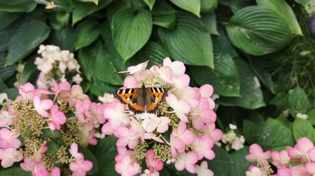 ekosistem : Black and orange butterfly on top of pink flowers. Large tortoiseshell in the garden. Stok Video