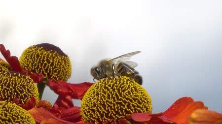 margarida : Bee collecting nectar from a red flower on a blury gray backround. Close-up footage.