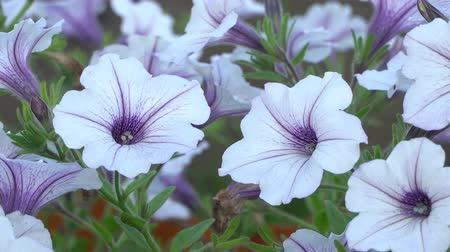 장식 정원 : White and purple striped petunia flowers in the wind. Garden flowers beautiful close-up, slow zoom-in.