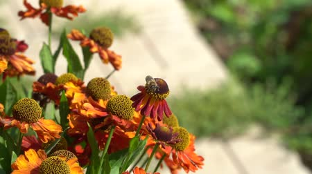 pólen : Bee fly around orange flowers collecting nectar. Close-up in slow motion.
