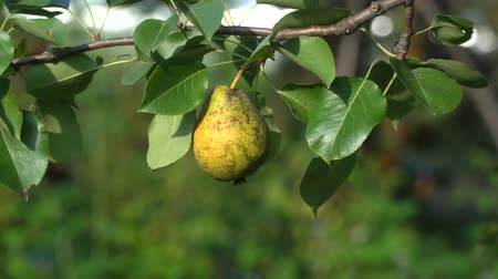 pears : Ripe organic pear on a tree on a windy day, close-up of yellow fruit and green leaves. Stock Footage