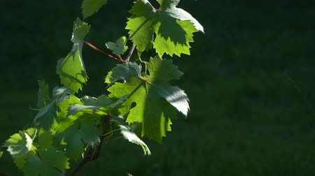 Grapevine with leaves on a sunny day close-up. Farming and winery footage. Wideo