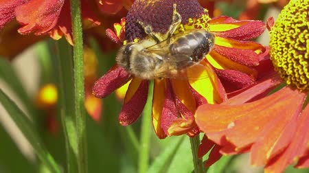 Bee collecting nectar from a red flower on a green backround . Vibrant close-up footage.