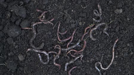 беспозвоночный : Heap of earthworms moving on the soil. Fertilize the soil, good for crops. Agriculture and fishing.