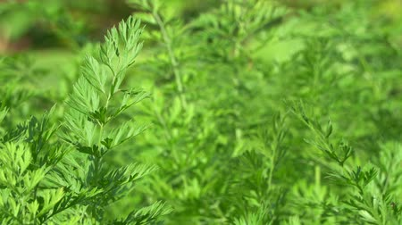 explodindo : Young carrot leaves outside close-up. Green grass swaying in the wind. Stock Footage