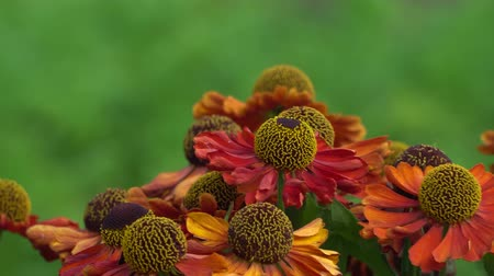 ネクター : Red and orange flowers on a windy day. Close-up shot.