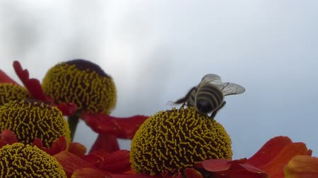 yabanarısı : Bee collecting nectar from a red flower on a blury gray backround. Close-up footage.