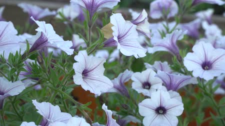 White and purple striped petunia flowers in the wind. Garden flowers beautiful close-up.