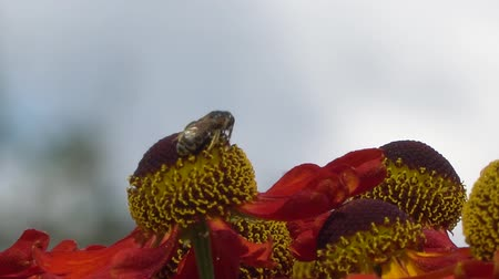 энтомология : Bee collecting nectar from a red flower on a blury gray backround. Close-up footage.