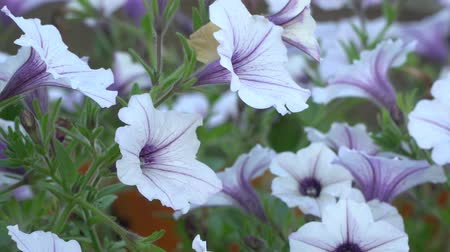 клумба : White and purple striped petunia flowers in the wind. Garden flowers beautiful close-up, zoom-in. Стоковые видеозаписи