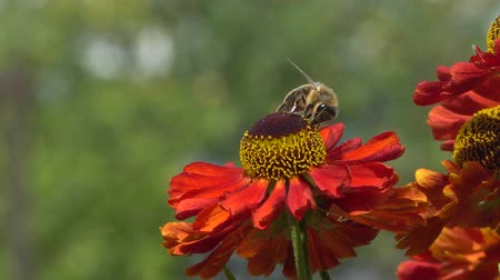 ползком : Bee collecting nectar from a red flower on a green backround . Vibrant close-up footage.