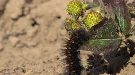 chlupatý : Macro close-up shot of a Fox Moth caterpillar eating green strawberry leaves.