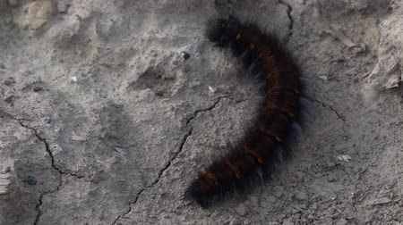 chlupatý : Macro close-up of a Fox Moth caterpillar crawling on dry ground.