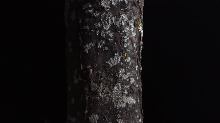 havlama : Tree trunk covered with moss and lichens close-up. Rotating tree bark texture, isolated on black background. Natural design element, macro studio shot. Stok Video