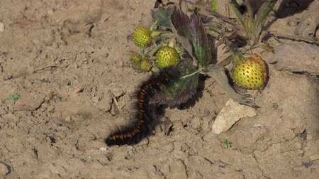 yırtıcı hayvan : Macro close-up shot of a Fox Moth caterpillar eating green strawberry leaves.