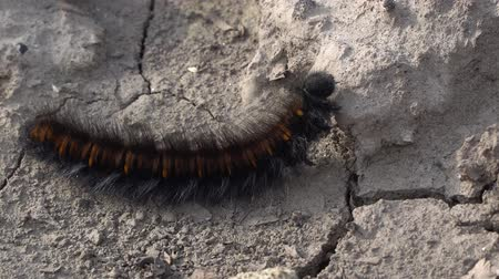 ползком : Macro close-up of a Fox Moth caterpillar crawling on dry ground.