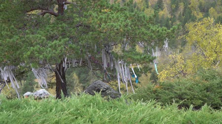 kultusz : Ritual ribbons on sacred tree in Altai Mountains. Shamanism. Stock mozgókép