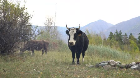 pastar : Cows grazing on altai meadow at the foot of mountains. Picturesque day.
