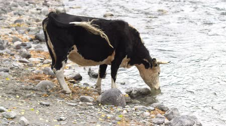 pastar : Two cows on the rock shore drinking from a mountain river. Vídeos