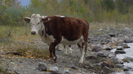 pastar : Two cows on the rock shore walking along the mountain river on a summer day. Vídeos