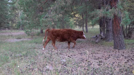 altay : Red and white cow grazing in pine forest on a summer day. Stok Video