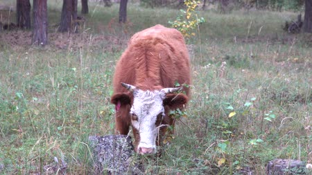 pastar : Red and white cow grazing in pine forest on a gloomy summer day.