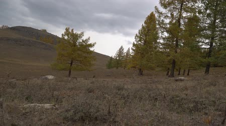 Autumn trees swaying in the open field near the Altai mountains.