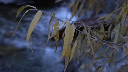 weeping : Yellow Weeping Willow leaves close-up on running water stream background.