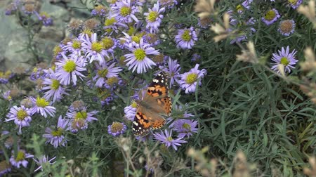 margarida : Red admiral butterfly sitting on blue flower (Tartarian Aster).