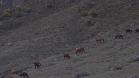 склон холма : Herd of horses grazing on the gray hillside. Стоковые видеозаписи