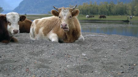 konie : A herd of cows on the sandy shore of a mountain river.