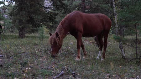 jíst : Bay horse grazing in autumn forest on a gloomy day.