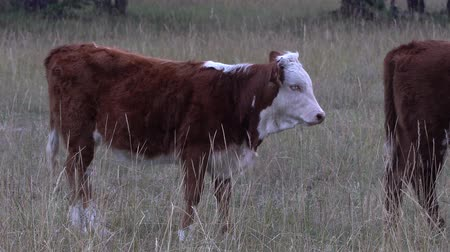 pastar : Brown and white cow standing on a meadow near the forest.