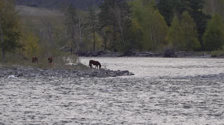 égua : Brown horses drinking water fron the river in the rocky mountains with trees on the background.