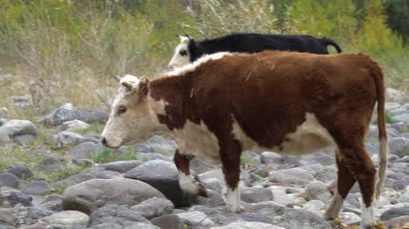 pastar : Two cows on the rock shore walking along the mountain river. Vídeos