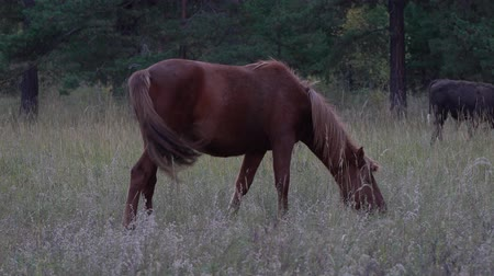 pastar : Bay horse grazing in autumn forest on a gloomy day.
