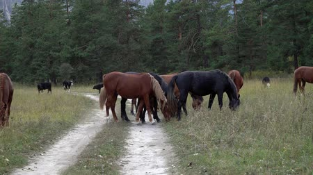 pastar : Herd of horses grazing in the forest near the Altai Mountains on an autumn day.