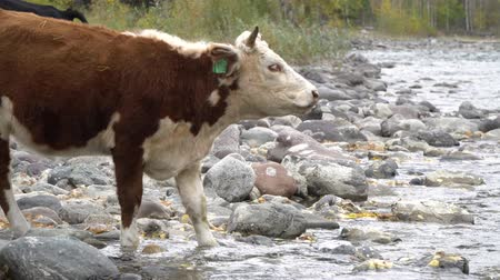 pastar : Cow on the rock shore drinking from a mountain river.