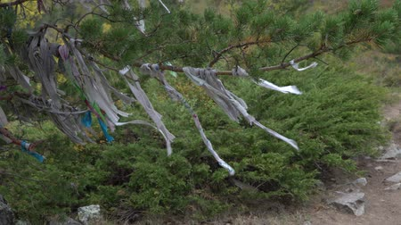 shaman : Ritual ribbons on sacred tree in Altai Mountains. Shamanism. Stock Footage
