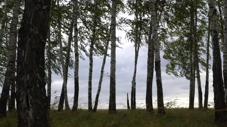 cserjés : Silver birch trees swaying in the wind on a cloudy day. Stock mozgókép