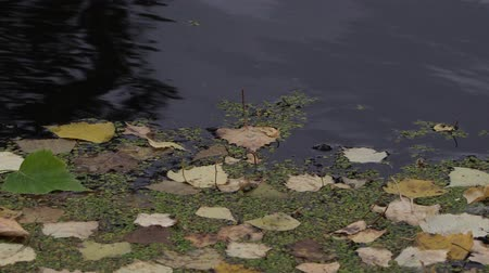 ot : Fallen leaves floating on dark water surface of a pond or a lake on an autumn day.