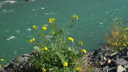 lehet : Young yellow blossoms with fresh green leaves on emerald mountain river background.