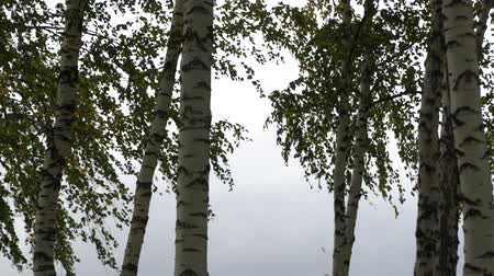 havlama : Silver birch trees swaying in the wind on a cloudy day. Stok Video