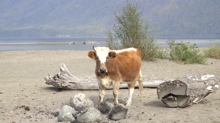 růžky : A cow standing on the sandy shore of a river.