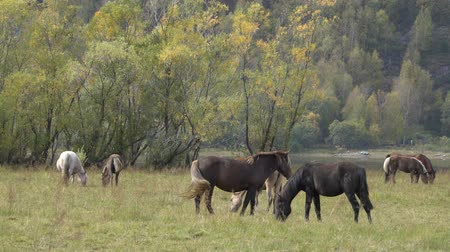 pastar : Herd of horses grazing on the meadow near the Altai Mountains on an autumn day.