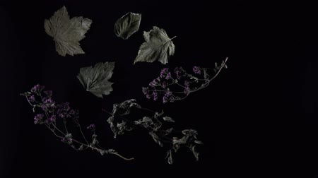 hibiscus : Dried leaves and flower on black background stop motion animation. Herbal tea in motion.